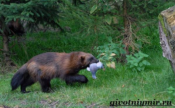 Росомаха-животное-Образ-жизни-и-среда-обитания-росомахи-11