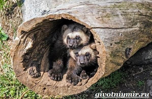 Росомаха-животное-Образ-жизни-и-среда-обитания-росомахи-14