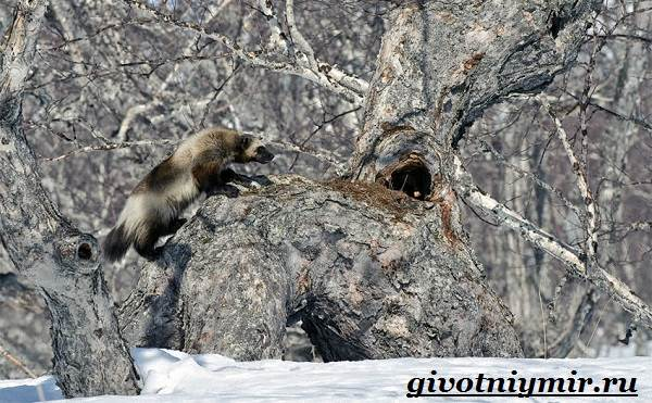 Росомаха-животное-Образ-жизни-и-среда-обитания-росомахи-15