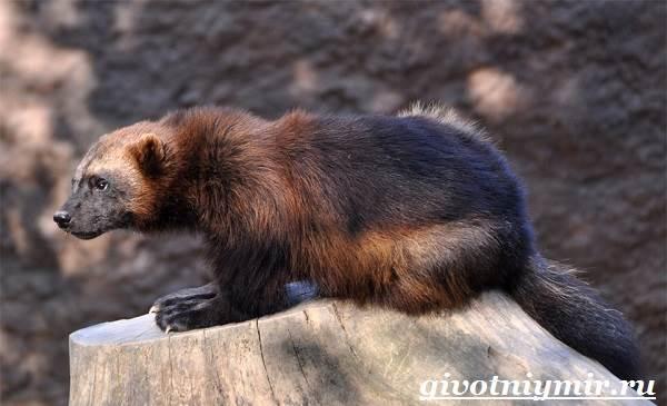 Росомаха-животное-Образ-жизни-и-среда-обитания-росомахи-2
