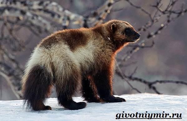 Росомаха-животное-Образ-жизни-и-среда-обитания-росомахи-3
