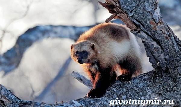 Росомаха-животное-Образ-жизни-и-среда-обитания-росомахи-4