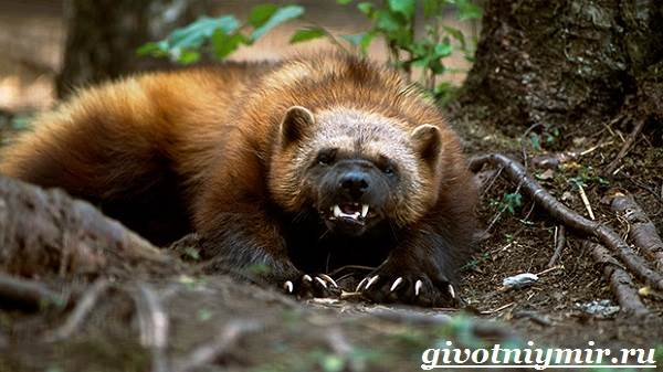 Росомаха-животное-Образ-жизни-и-среда-обитания-росомахи-5