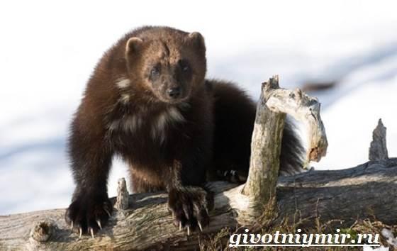Росомаха-животное-Образ-жизни-и-среда-обитания-росомахи-7