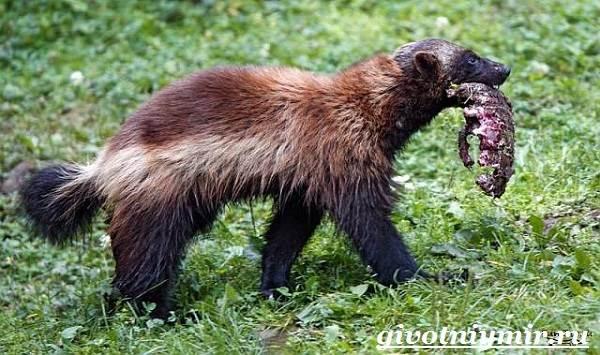 Росомаха-животное-Образ-жизни-и-среда-обитания-росомахи-8