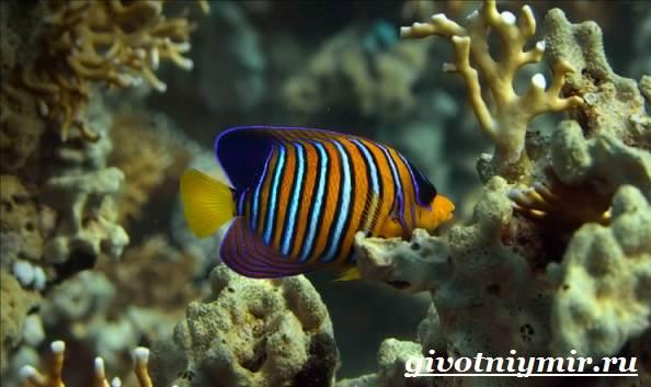Рыба-ангел-Образ-жизни-и-среда-обитания-рыбы-ангела-1
