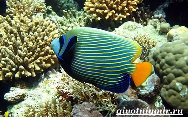 Рыба-ангел-Образ-жизни-и-среда-обитания-рыбы-ангела-2