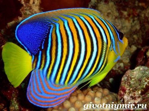 Рыба-ангел-Образ-жизни-и-среда-обитания-рыбы-ангела-3