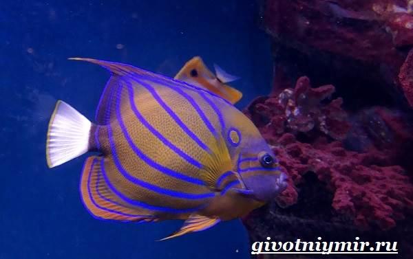Рыба-ангел-Образ-жизни-и-среда-обитания-рыбы-ангела-4