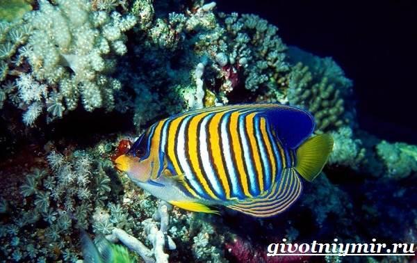 Рыба-ангел-Образ-жизни-и-среда-обитания-рыбы-ангела-6
