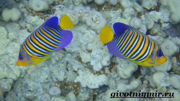 Рыба-ангел-Образ-жизни-и-среда-обитания-рыбы-ангела-8