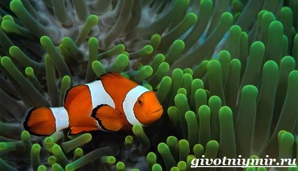 Рыба-клоун-Образ-жизни-и-среда-обитания-рыбы-клоун-2