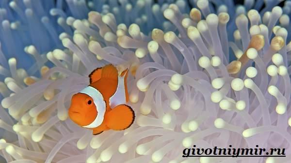 Рыба-клоун-Образ-жизни-и-среда-обитания-рыбы-клоун-3