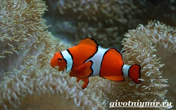 Рыба-клоун-Образ-жизни-и-среда-обитания-рыбы-клоун-5