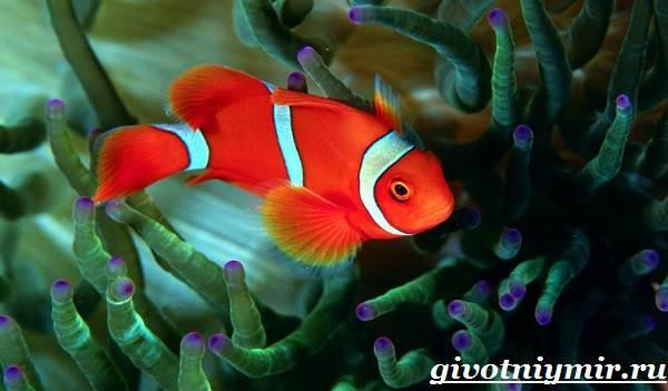 Рыба-клоун-Образ-жизни-и-среда-обитания-рыбы-клоун-6