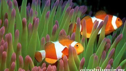 Рыба клоун. Образ жизни и среда обитания рыбы клоун