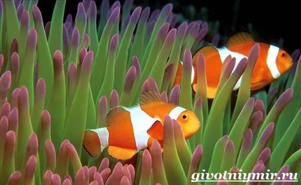 Рыба-клоун-Образ-жизни-и-среда-обитания-рыбы-клоун-7
