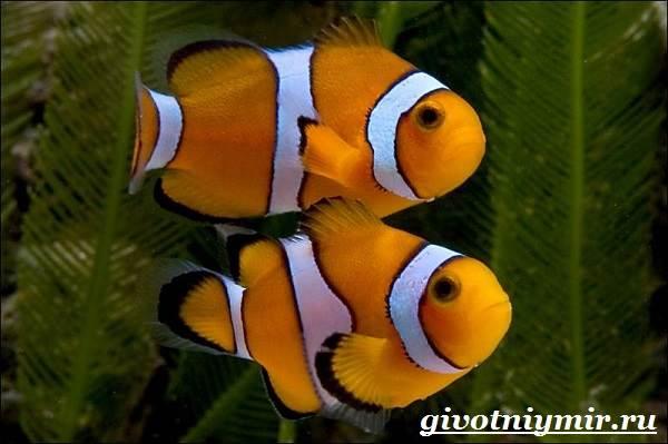 Рыба-клоун-Образ-жизни-и-среда-обитания-рыбы-клоун-9