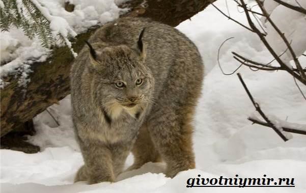 Рысь-животное-Образ-жизни-и-среда-обитания-рыси-1