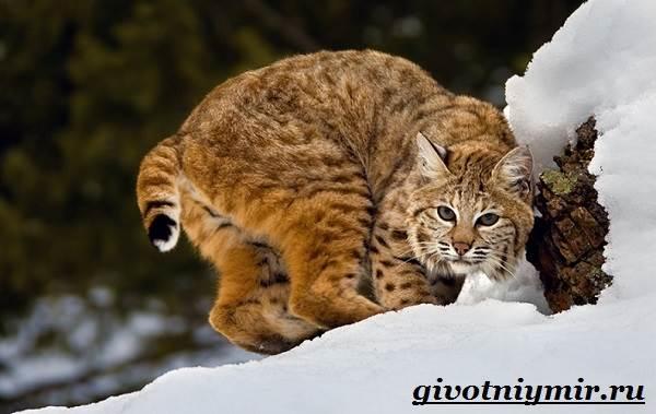 Рысь-животное-Образ-жизни-и-среда-обитания-рыси-2
