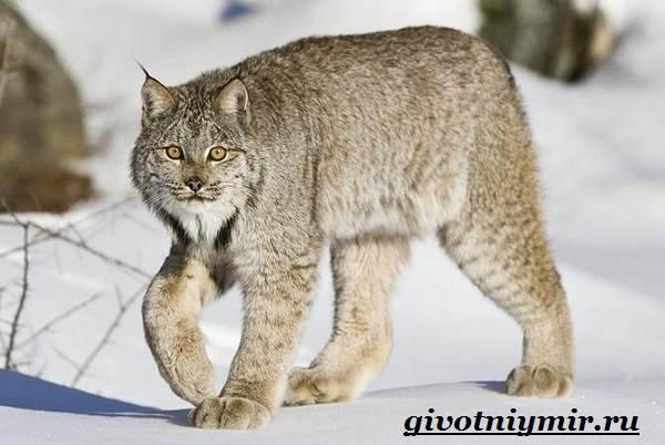 Рысь-животное-Образ-жизни-и-среда-обитания-рыси-3