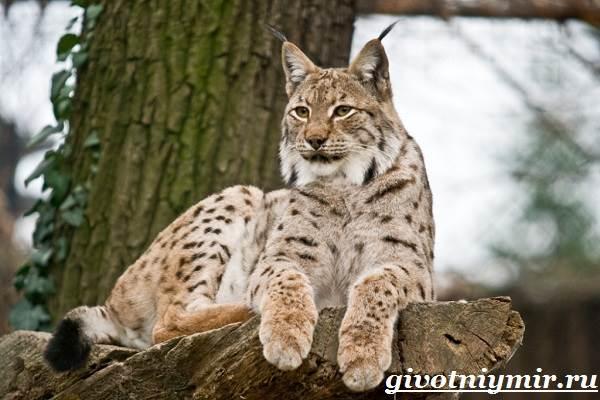 Рысь-животное-Образ-жизни-и-среда-обитания-рыси-4