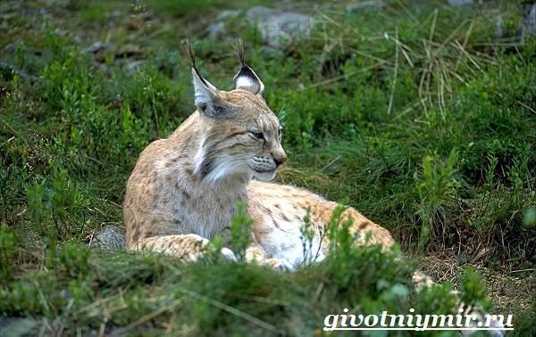 Рысь-животное-Образ-жизни-и-среда-обитания-рыси-5