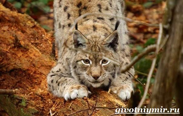 Рысь-животное-Образ-жизни-и-среда-обитания-рыси-6