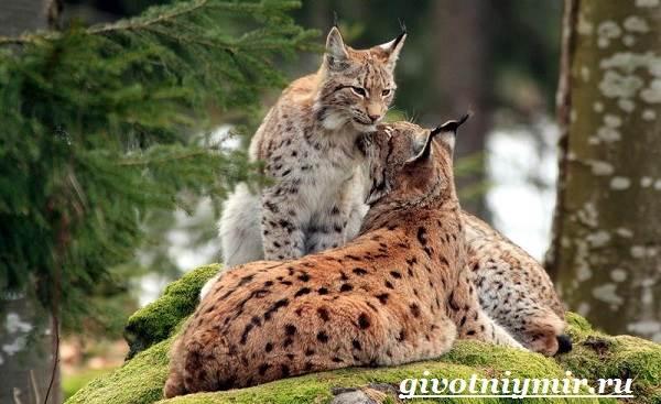 Рысь-животное-Образ-жизни-и-среда-обитания-рыси-8