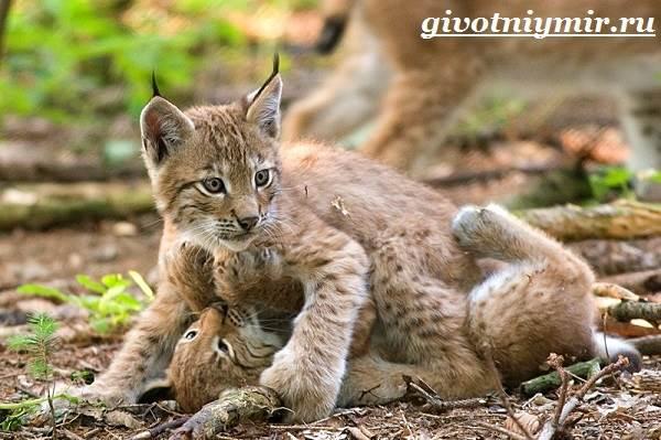 Рысь-животное-Образ-жизни-и-среда-обитания-рыси-9