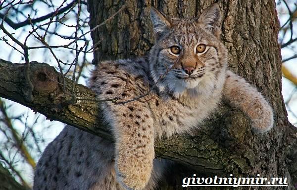 Рысь-животное-Образ-жизни-и-среда-обитания-рыси