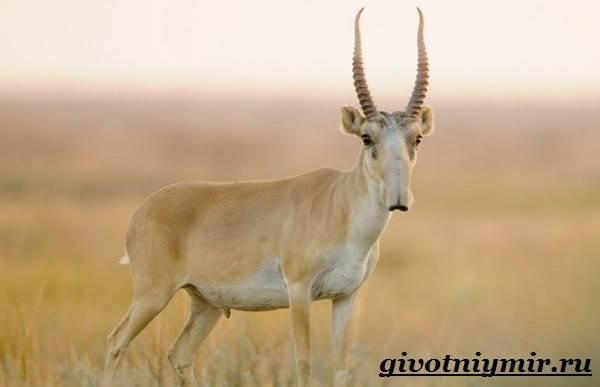 Сайгак-животное-Образ-жизни-и-среда-обитания-сайгака-1