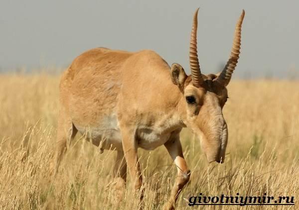 Сайгак-животное-Образ-жизни-и-среда-обитания-сайгака-2