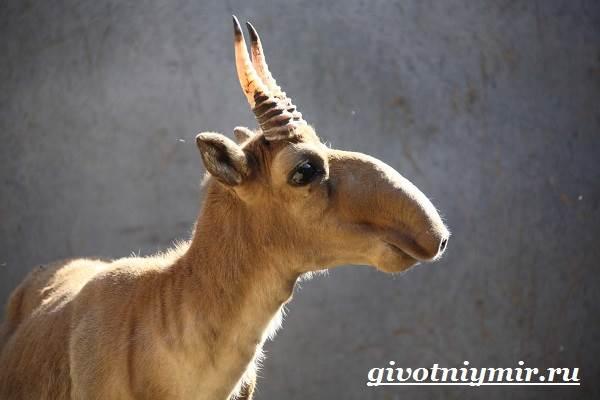 Сайгак-животное-Образ-жизни-и-среда-обитания-сайгака-3