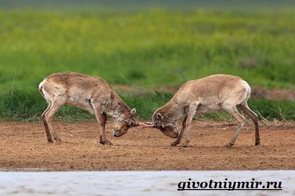 Сайгак-животное-Образ-жизни-и-среда-обитания-сайгака-7