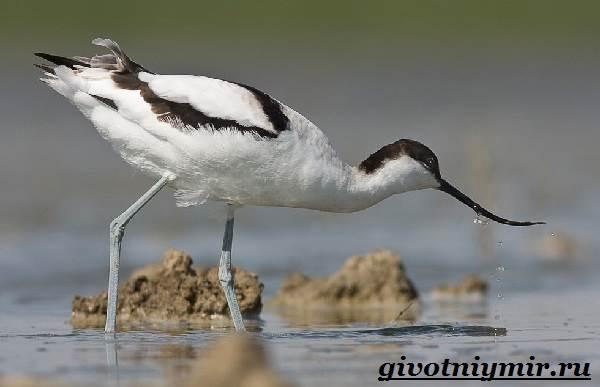 Шилоклювка-птица-Образ-жизни-и-среда-обитания-шилоклювки-1