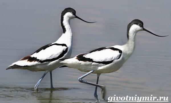 Шилоклювка-птица-Образ-жизни-и-среда-обитания-шилоклювки-2