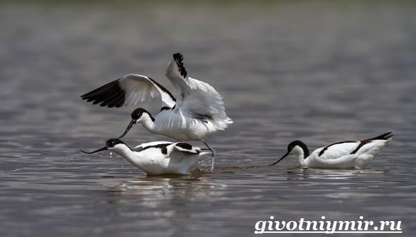 Шилоклювка-птица-Образ-жизни-и-среда-обитания-шилоклювки-3