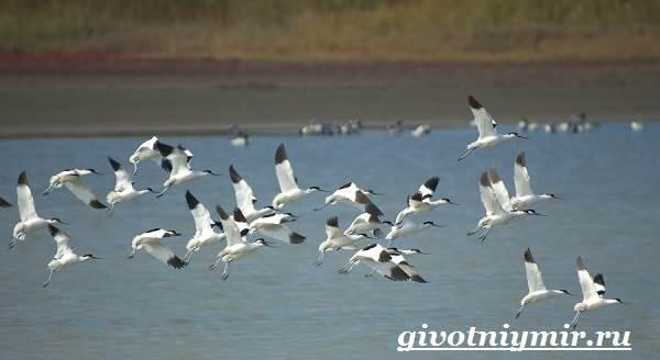 Шилоклювка-птица-Образ-жизни-и-среда-обитания-шилоклювки-5