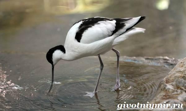 Шилоклювка-птица-Образ-жизни-и-среда-обитания-шилоклювки-6