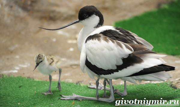 Шилоклювка-птица-Образ-жизни-и-среда-обитания-шилоклювки-7