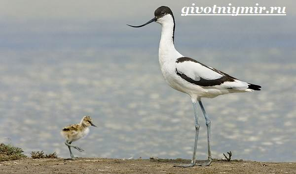 Шилоклювка-птица-Образ-жизни-и-среда-обитания-шилоклювки-8