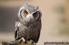 Сплюшка птица. Образ жизни и среда обитания сплюшки