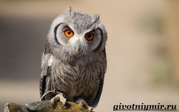 Сплюшка-птица-Образ-жизни-и-среда-обитания-сплюшки-1