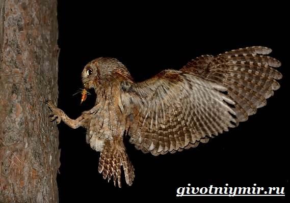 Сплюшка-птица-Образ-жизни-и-среда-обитания-сплюшки-10
