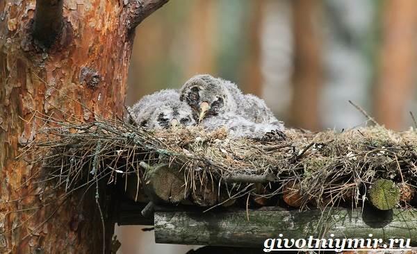 Сплюшка-птица-Образ-жизни-и-среда-обитания-сплюшки-12