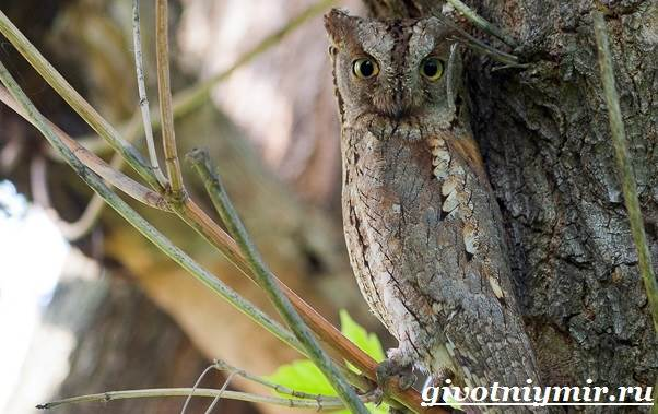 Сплюшка-птица-Образ-жизни-и-среда-обитания-сплюшки-2