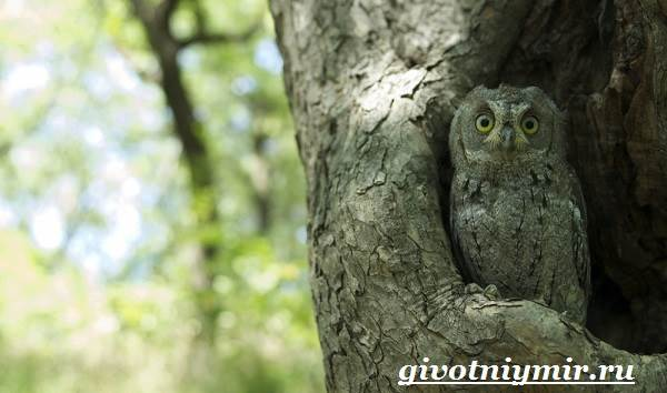 Сплюшка-птица-Образ-жизни-и-среда-обитания-сплюшки-3