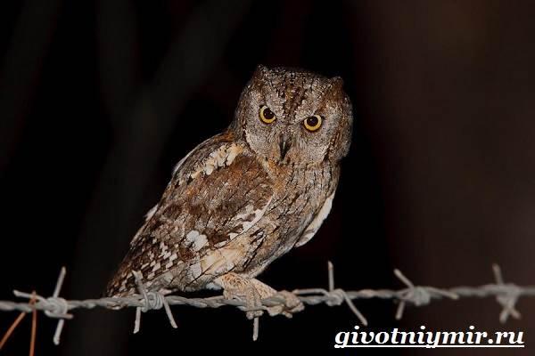 Сплюшка-птица-Образ-жизни-и-среда-обитания-сплюшки-8