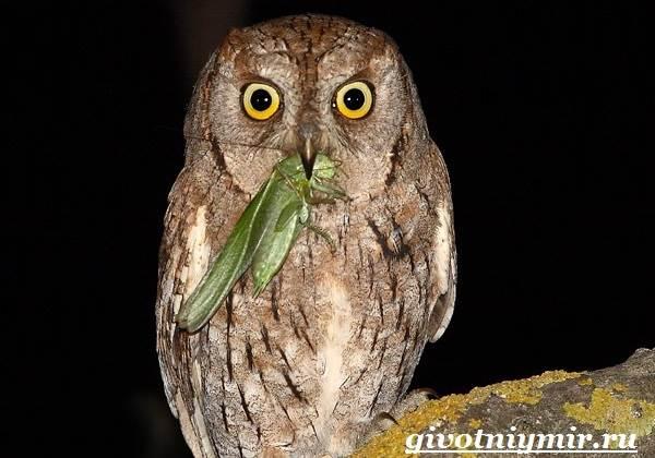 Сплюшка-птица-Образ-жизни-и-среда-обитания-сплюшки-9